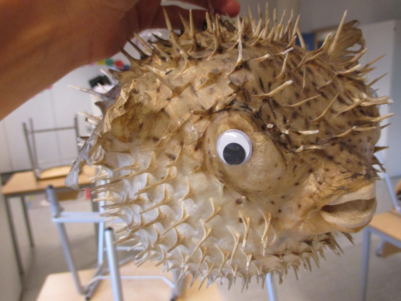Her er ein pinnsvinfisk